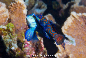 Mating Mandarin Fish. by Joshua Tappert 